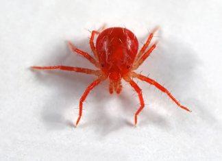 Διώχνουμε την κόκκινη αράχνη από τα κωνοφόρα