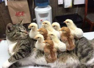 Τα κοτόπουλα κι η γάτα