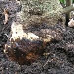 Πως θα εξοντώσεις του μύκητες στη ρίζα