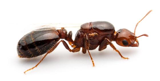 Σχετικά με το κόκκινο μυρμήγκι