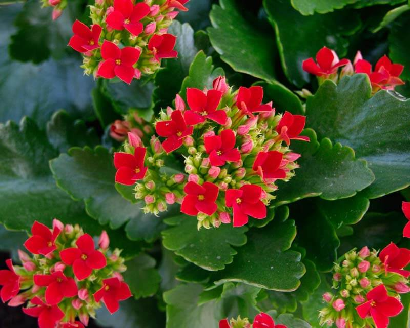 Η Καλαγχόη – Ενα φυτό που δίνει χρώμα στο καταχείμωνο