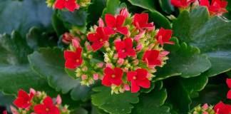 Kalanchoe blossfelidiana