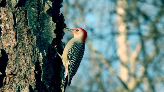 Δρυοκολάπτης – Ενα χρήσιμο πουλί