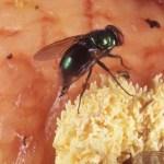 Πόσα αβγά γεννάνε οι  μύγες
