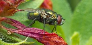 Οι μύγες και το καλό που κάνουν