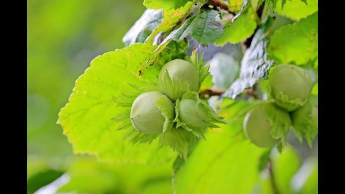 Φουντούκια με κάρυ – νηστίσιμο ορεκτικό