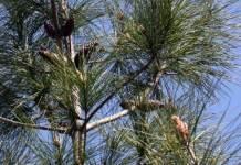 Πεύκο Θασίτικο, Pinus Brutia