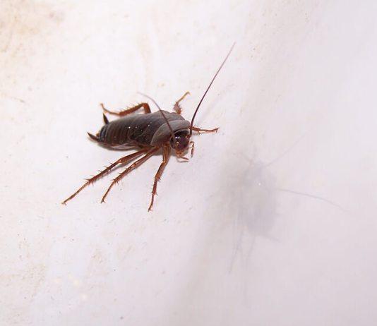 Φτιάξτε οικολογικό απωθητικό για τις κατσαρίδες