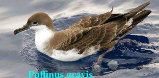 Puffinus gravis