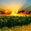 sunflower-ban