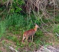 Deer along Turkey Creek