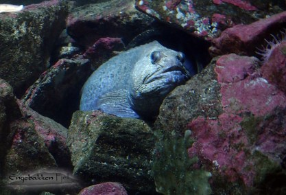 A seawolf lurking in it's cave