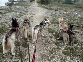 All the dogs came along for this walk; Denali, Freke, Fjellbris, Såga, Gaia and Orca