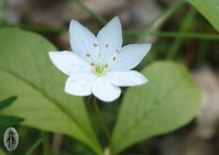 "one of the many flowers you may see in the forest. This is a Trientalis europaea, called ""forest star"" in Norwegian."