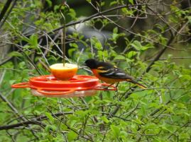 Male Baltimore Oriole FOY