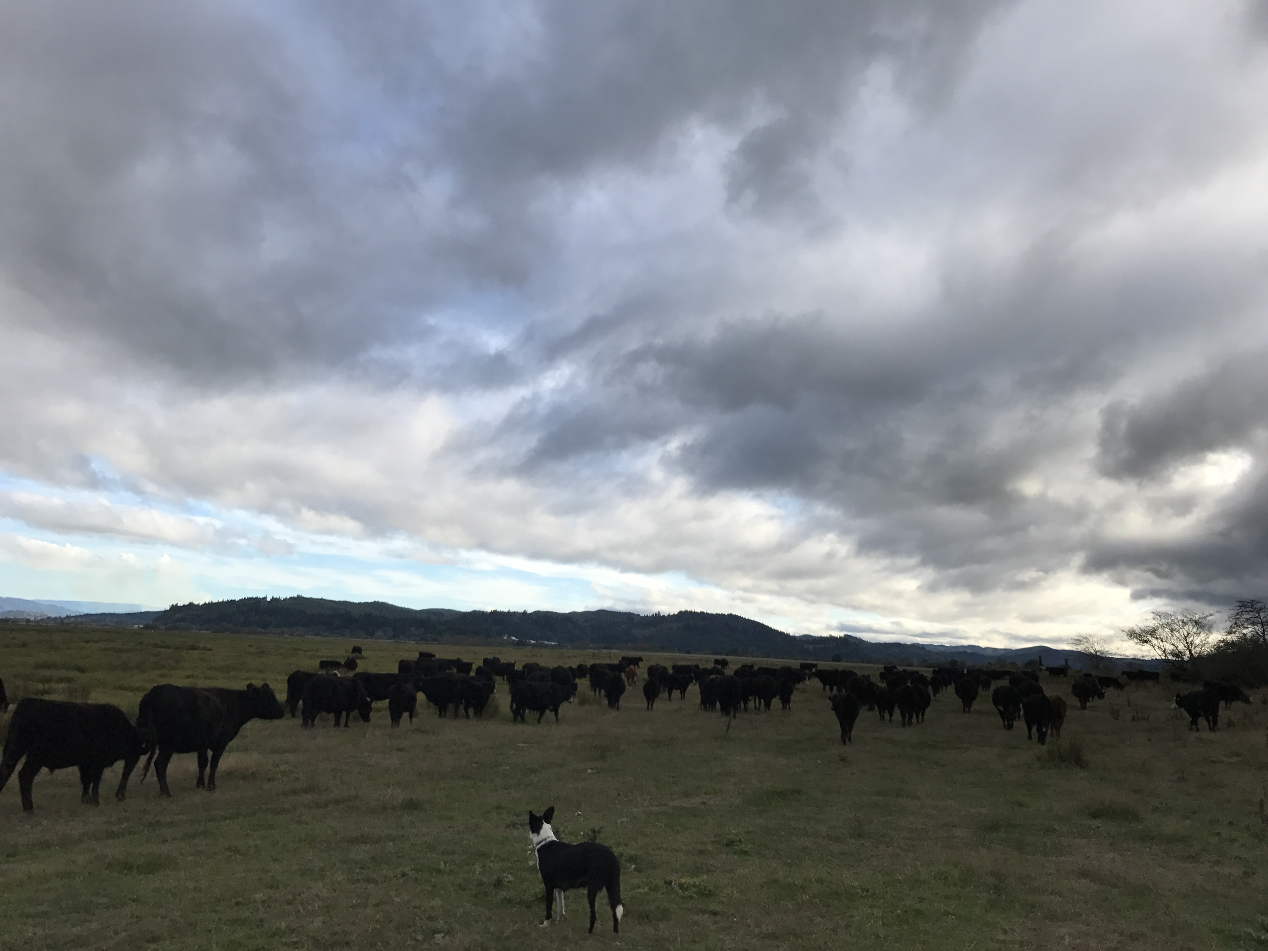 The Real Thing Limiting the Spread of Low Stress Livestock Handling (or How I Stopped Caring if the Cattle were Stressed)