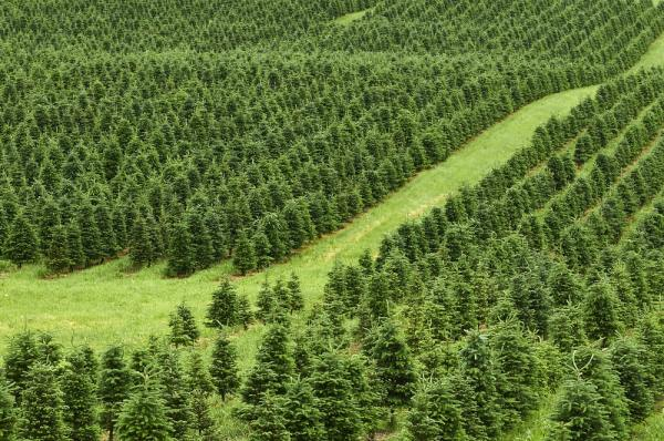 A farm full of Christmas trees