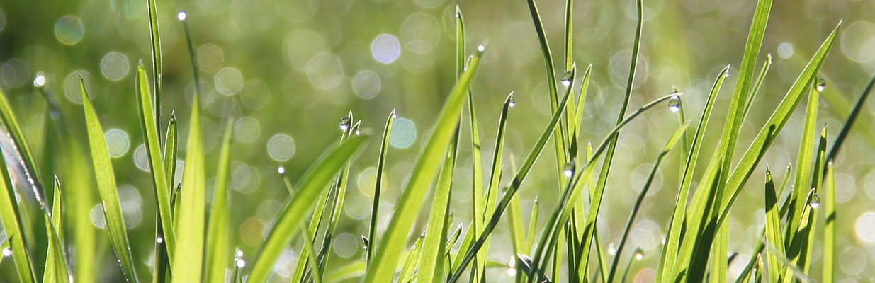 Blades of grass with morning dew