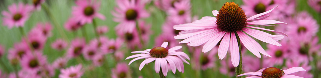 Purple coneflower, or echinacea