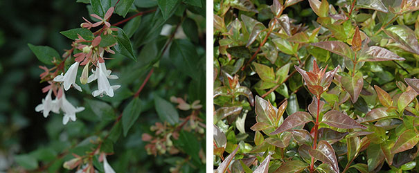 Edward Goucher Abelia, both blooms and foliage