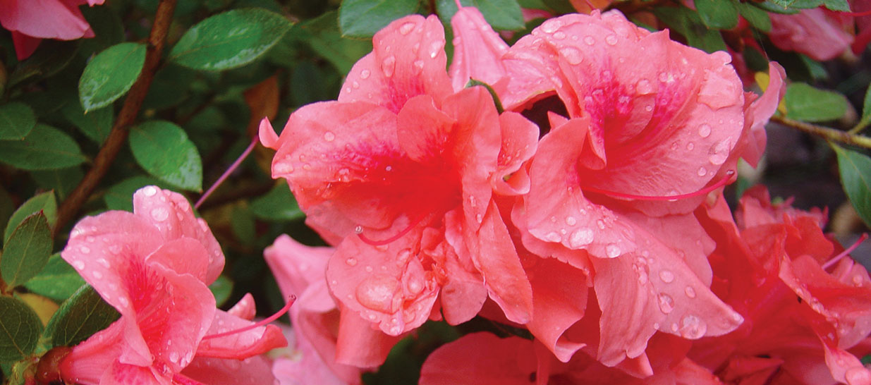 Close up view of blooms on an Encore azalea