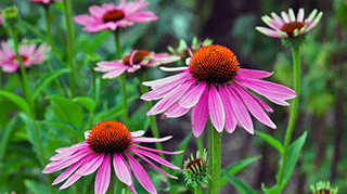 Echinacea, commonly called Coneflower