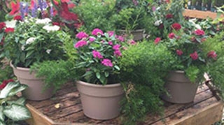 Patio pots of impatiens available for sale