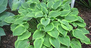 Hosta Golden Tiara