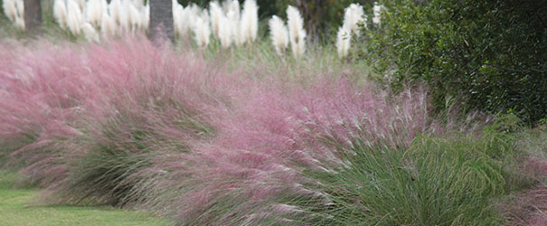 The lovely pink plumes of Muhly grass