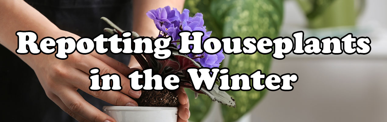 Repotting Houseplants in the Winter