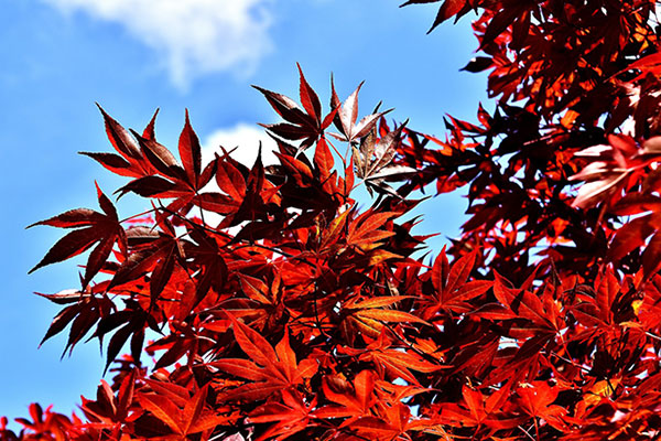 A red Japanese maple with bright, fall color