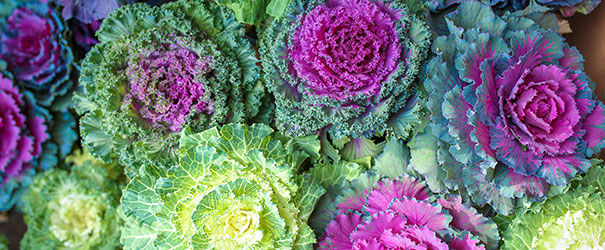 White and purple varieties of ornamental cabbage