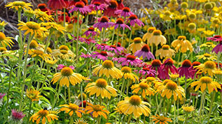 A field of perennial coneflowers