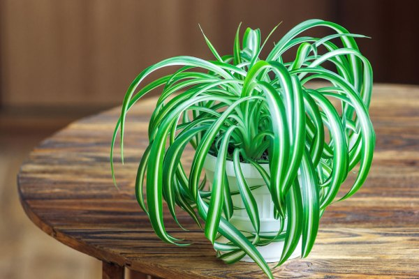 Potted spider plant on a wooden table