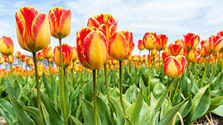 Yellow tulips with red fringing