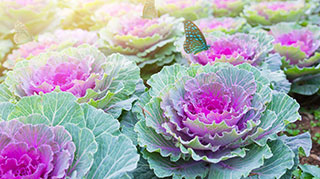 A field of ornamental cabbages