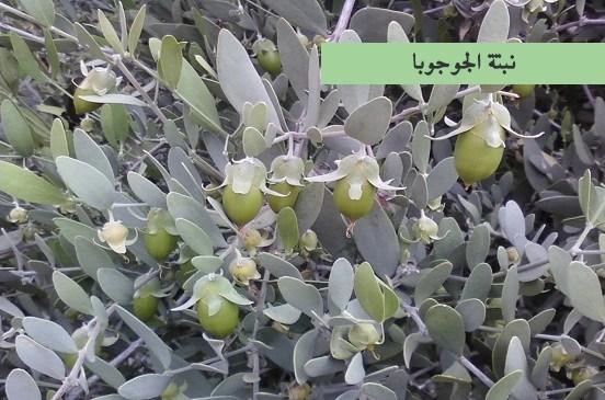 نبتة الجوجوبا
