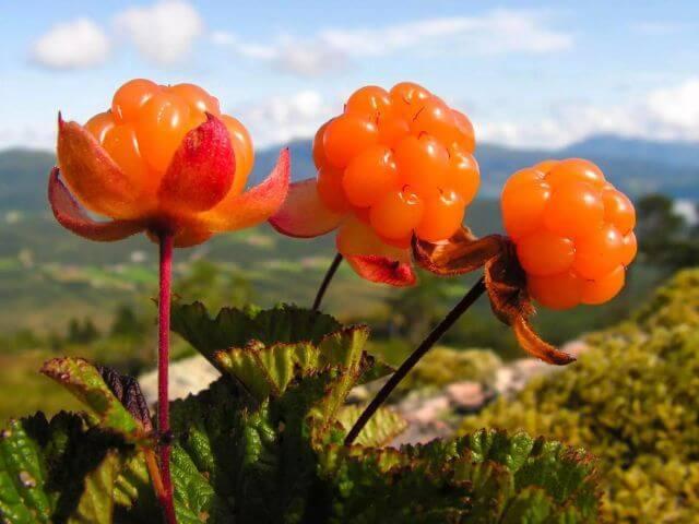 Cloudberries هي التوت من نبات Rubus chamaemorus ، الذي ينمو في الارتفاعات العالية في المناطق الباردة والمليئة بالمستنقعات في نصف الكرة الشمالي.
