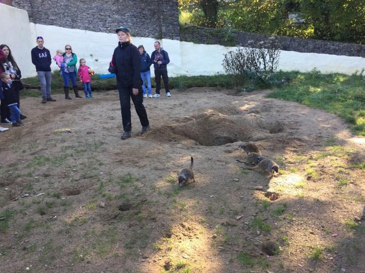 coombe martin wildlife park meerkats being fed