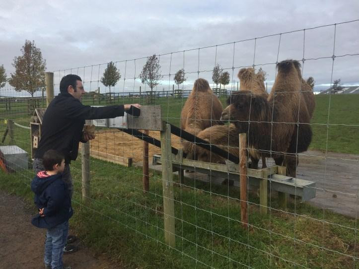 noahs ark soo farm bristol christmas feeding camels