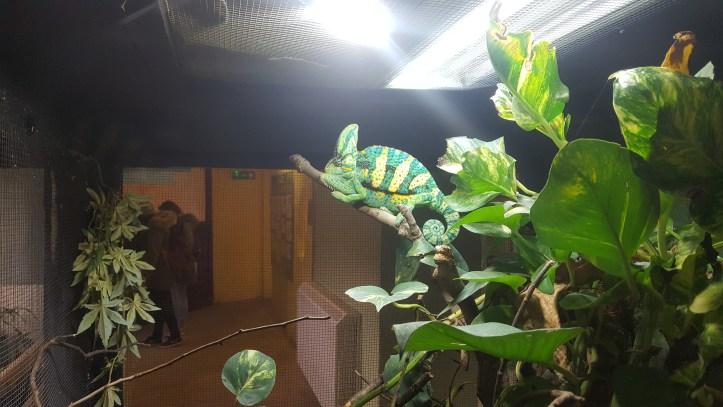 noahs ark soo farm bristol christmas chameleon