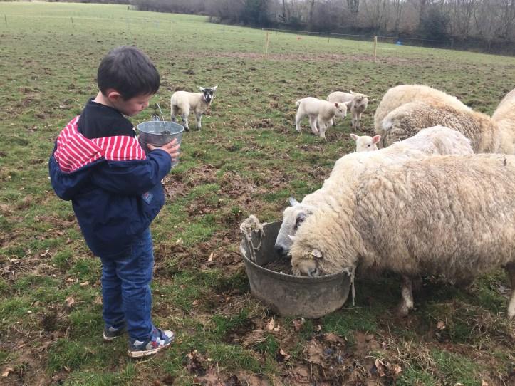 feeding sheep at west withy farm in exmoor devon