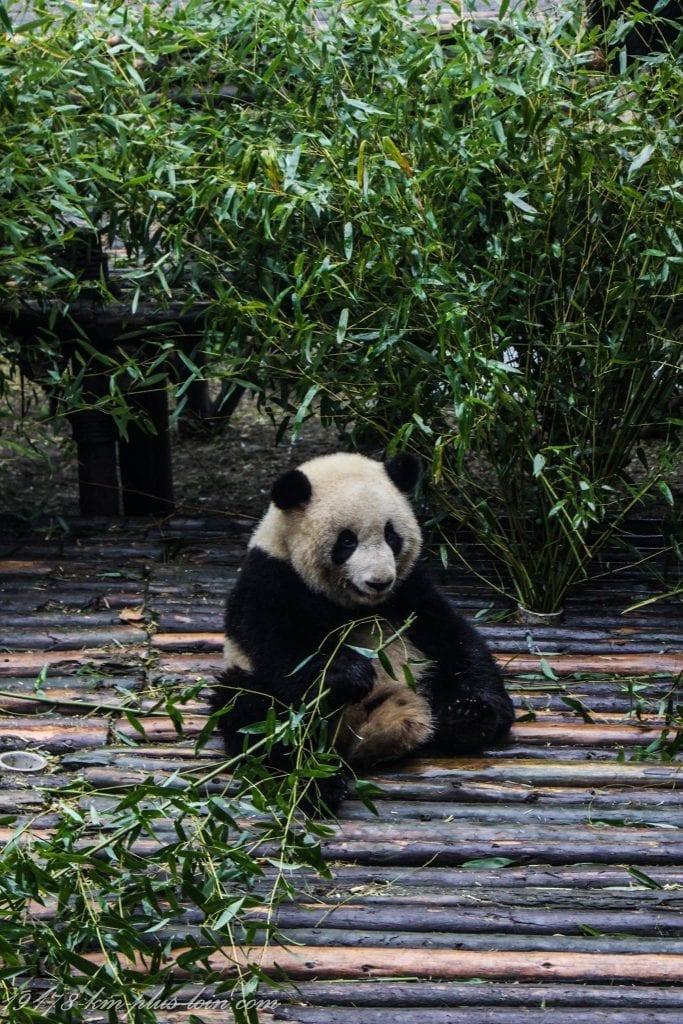 Panda eating breakfast in Chengdu Panda Research Base