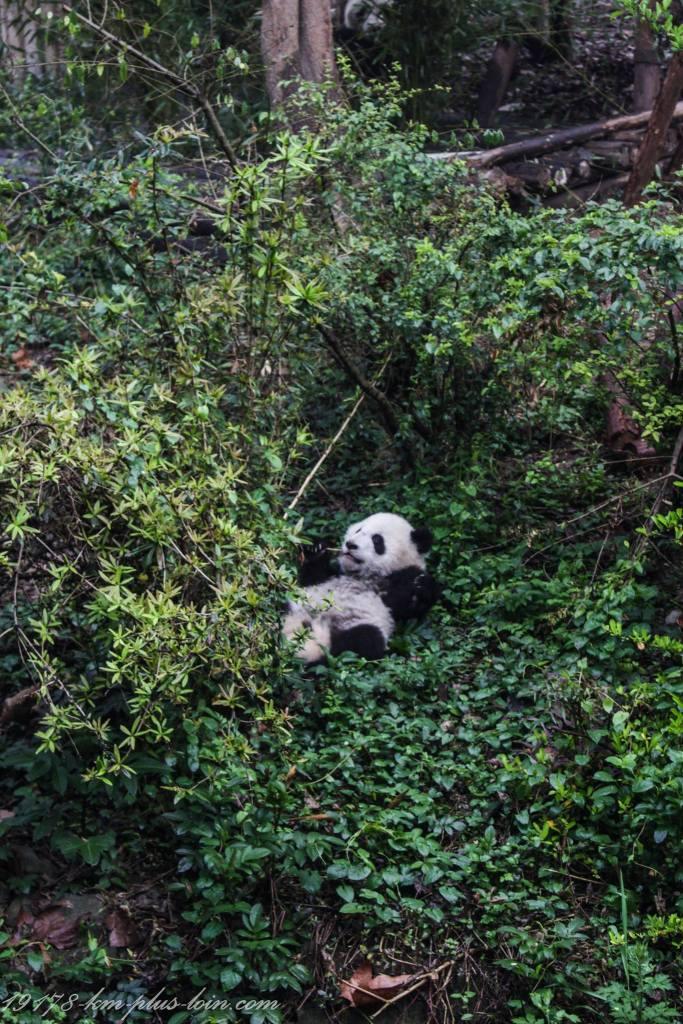 Pandas-at-chengdu-panda-research-base
