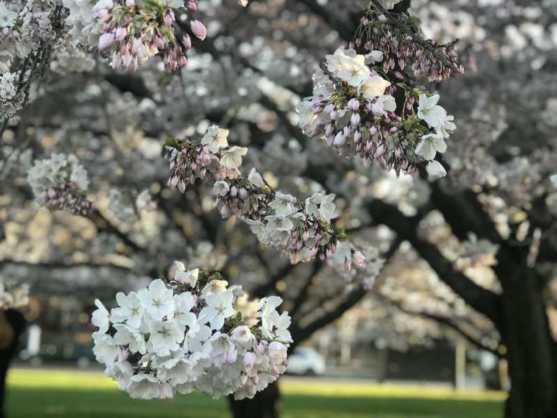 Thanksgiving - Springtime blossoms in Victoria, BC