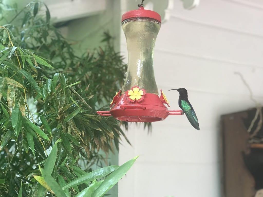 Hummingbird at Jardin de balata