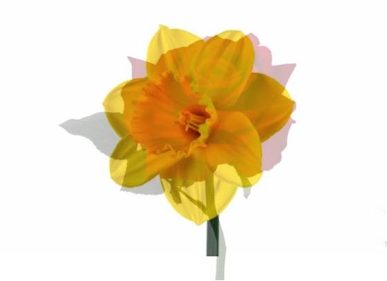 Narcis