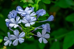 A look at beautful blue flowers with bright green leaves