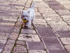 Tiny White Dog, Venice