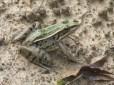 Louisiana Bull Frog